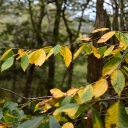 Yellow birch leaves on Grandfather Mountain, photographed Sept. 23 — part of the 5–10 percent of local landscape Neufeld said was showing color that weekend. Photo by Howard Neufeld
