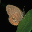 Photo of the St. Francis' satyr butterfly. Photo courtesy of U.S. Fish and Wildlife Service