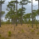 A typical longleaf pine ecosystem. Mature trees are approximately 200 years old. Photo courtesy of Peter Soulé