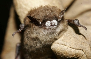 A bat displaying signs of white-nose syndrome — a fungal disease that, according to the National Park Service (NPS), has killed millions of U.S. bats since its discovery in 2006. Dr. Mark Spond, Appalachian State University's liaison to NPS, recently conducted studies of bats along North Carolina's Blue Ridge Parkway as part of an NPS grant-funded project — data from which will help expand NPS knowledge of the parkway's rare and WNS-affected bat populations. NPS image